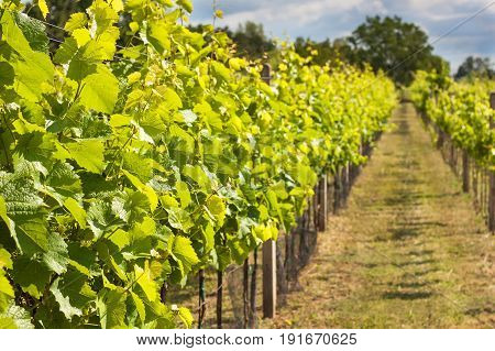 Summer morning on a vineyard in the Czech Republic. Vine growing