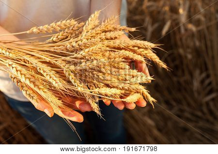 the woman holding the gold ripened wheat ears closeup, outdoor. harvest, agriculture, agronomics, food, production, organic concept.