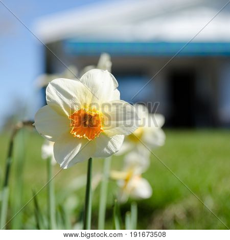 one white and orange beutiful flower from the family narcissus