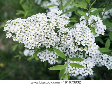 Flowers on a branch. Flowering branch. White flowers