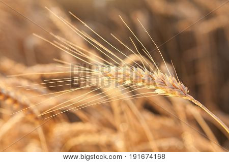 the field of the ripened gold wheat closeup. harvest, agriculture, food, production, eco, agronomics concept.