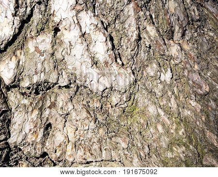 Bark . Background of a tree  bark.