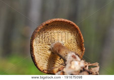 Polyporus sp. Beautiful mushroom growing on dead wood in the forest
