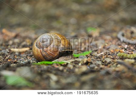 Snail on the floor in the forest. Burgundy snail, Helix, Roman snail, edible snail or escargot.