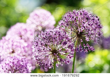 close up of purple allium flowers growing in the garden