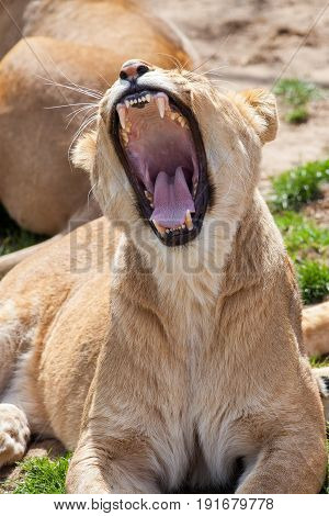 Lioness Yawning. A female lion with mouth wide open showing deadly canine teeth and rough barbed tongue during yawn.