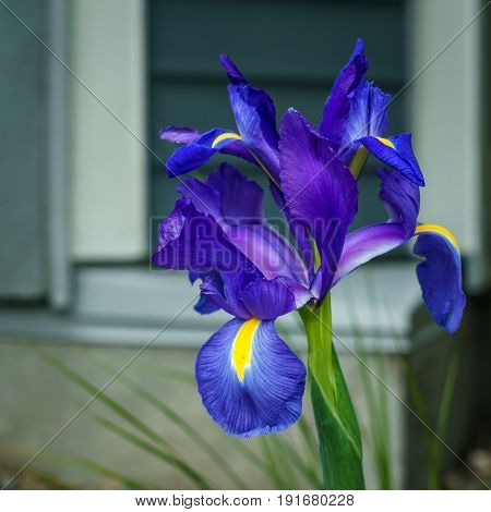 Single Iris Flower With Blure Background In The Garden