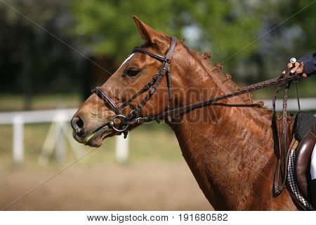 Chestnut colored purebred beautiful jumping horse canter on show jumping event