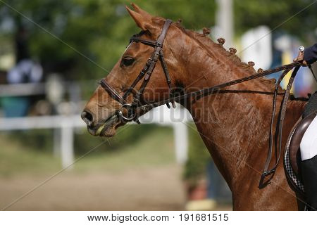 Show jumper horse galloping on racetrack with braided mane