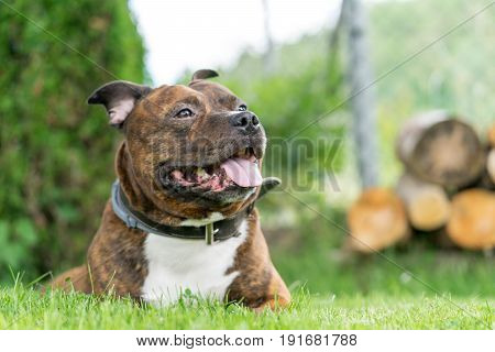 Lying staffordhire bull terrier looking forward on a vertical photo with green bokeh background. Very soft focus on nose.