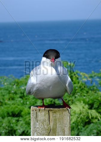 Arctic tern perched on a fence post, sea in background