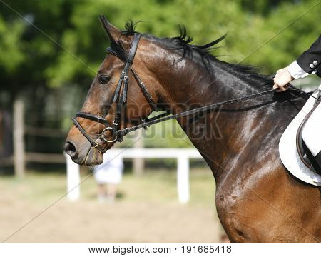 Bay colored beautiful jumping horse canter with her rider