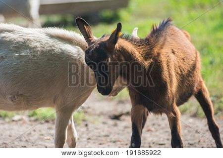 Photo of goat in farm background