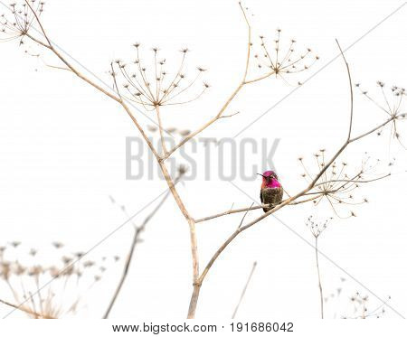 Hummingbird standing on a dry plant against white background.