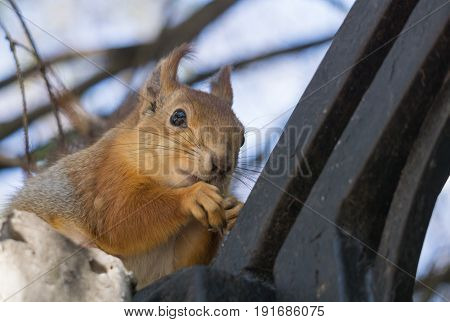hungry red squirrel sits on a black fence of the city park and gnaws nut