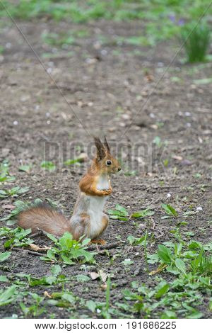 squirrel standing on hind legs in a ground and looking to infinity