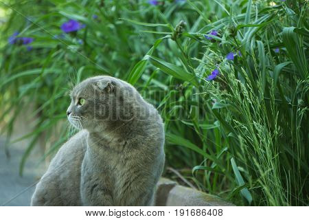 gray british cat sitting near a green lawn with blue flowers and looking aside to the left