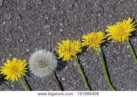 On the pavement lie dandelions in a line. All unblown dandelions. A dandelion blossomed and became fluffy. Dandelions are located diagonally in growth.