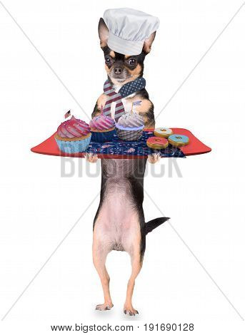 Cute chihuahua dog have make cupcakes for happy 4th of july day party