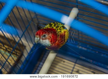 Blue with yellow parrot in a cage, looking directly at us. beautiful colourful Parrot