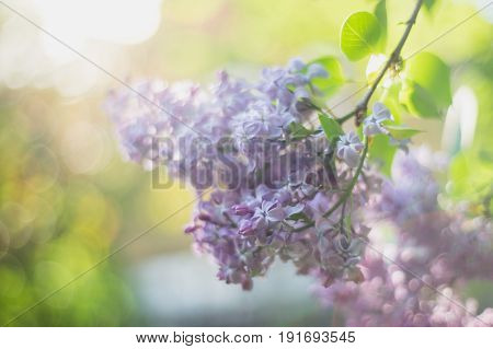 Lilac blooms. A beautiful bunch of lilac closeup. Lilac Flowering. Lilac Bush Bloom. flowers in the garden.
