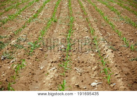 Young Corn Field