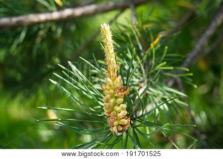 Growth of young fir cone on branch. Pine sprout in the needles of the tree. The nature of the forest in detail.