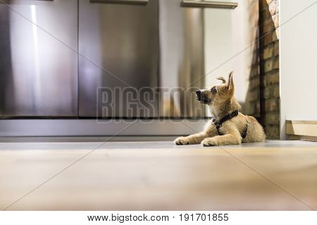 Cute puppy lies on the floor in the interior in a loft style with a brick wall. Behind it there are chrome steel lockers. Closeup. Horizontal.
