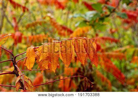 Orange Sumac In The Autumn Against A Blurred Background