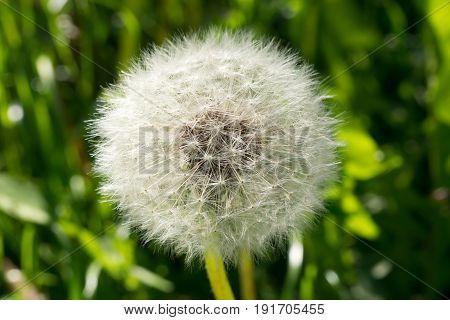 Mature fluffy white dandelion. Delicate dandelion seeds. Wild flower in the meadow.