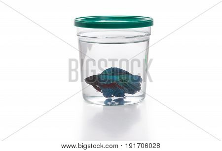 Blue Siamese fighting fish in fish container