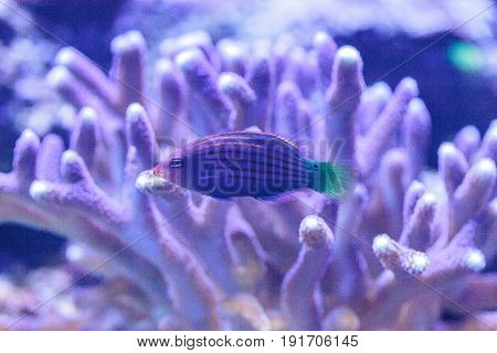 Pinstriped Wrasse Fish Halichoeres Melanurus