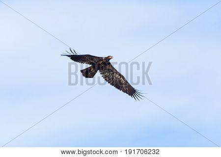 a Juvenile Bald Eagle Vancouver BC canada