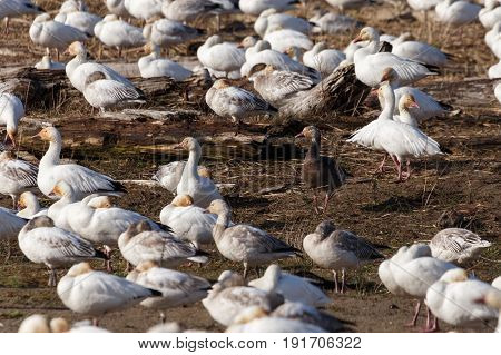 Snow Geese and Blue Geese Vancouver BC canada