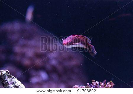 Red-margined Wrasse Cirrhilabrus Rubrimarginatus