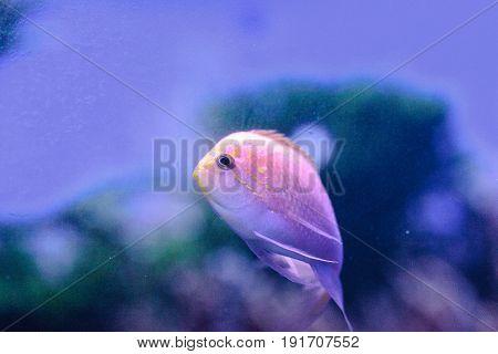 Sunburst Anthias Fish Serranocirrhitus Latus