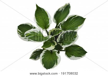 Hosta plant with large white green leaves