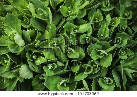 Garden plant Kalanchoe with young green leaves