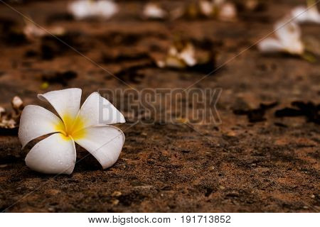 Flowers whaie on ground, Beautiful in nature.