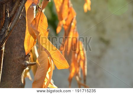 dry leaf hanging from branch in garden