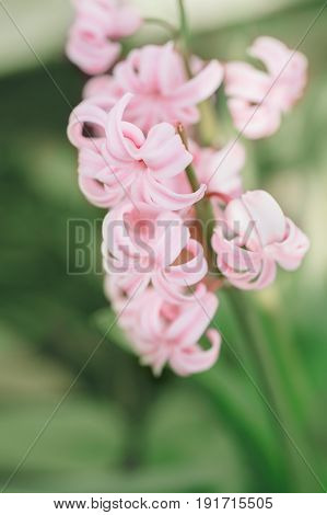 Beautiful fairy dreamy magic light pink hyacinthus flowers with green leaves retro vintage style blurry background copyspace for text faded pastel colors