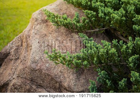 Green tree pine on rock close up.