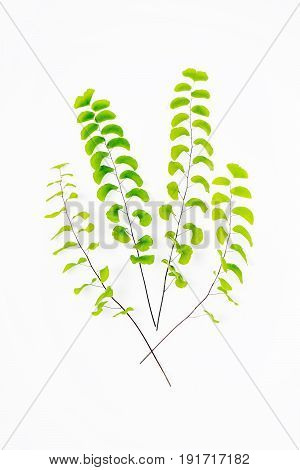 Maidenhair fern Adiantum Fern green fern leaves on white background.