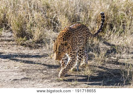 The concept of exotic and extreme tourism. Travel to Namibia. Magnificent spotted African leopard among the dry savanna grass