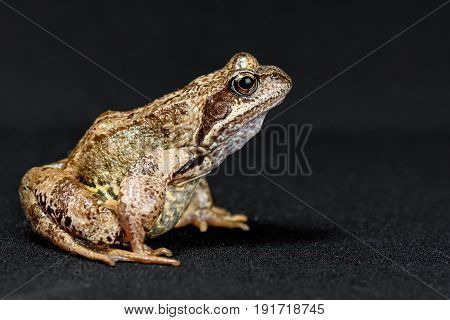 Frog is sitting in profile on a black background