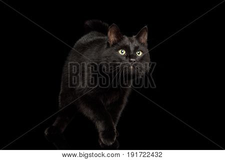 Playful Black Cat crouching on Isolated Dark Background