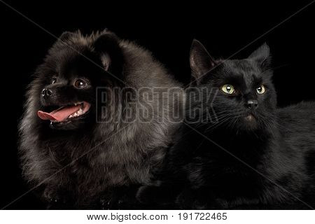 Furry Pomeranian Spitz Dog Together with Cat Curious Looking at side Isolated Black Background, front view