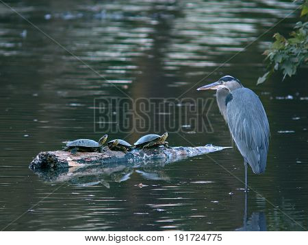 Great Blue Heron with Three Turtles in a Pond