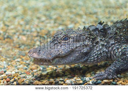 Crocodiles Swimming Through Water At Crocodile Farm