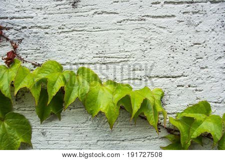 A Background With Dry Brown And  Light Green Fresh Grape Branches And Leaves Rising On A White Rough